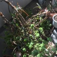 ベランダ植木処分2
